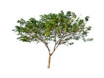 Drzewa odizolowywający na białym tle Fotografia Stock