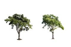 drzewa odizolowywają Obrazy Royalty Free