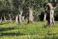 drzewa oliwne Zdjęcia Stock