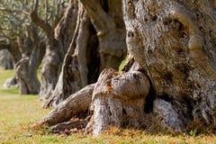 drzewa oliwne obraz stock