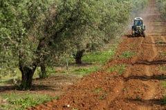 Drzewa oliwne Obrazy Stock