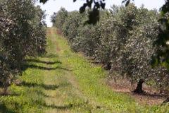 Drzewa oliwne Zdjęcia Royalty Free