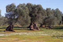 Drzewa oliwne obrazy royalty free