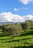 Drzewa oliwne Fotografia Royalty Free