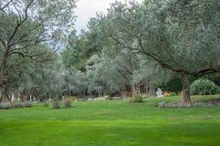 Drzewa oliwne i gazon w egzota parku Fotografia Stock
