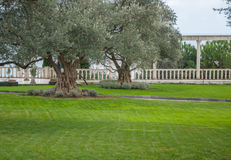Drzewa oliwne i gazon w egzota parku Zdjęcie Stock