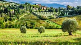 Drzewa oliwne i winnicy w Tuscany obraz stock