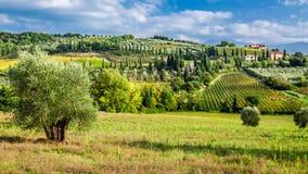 Drzewa oliwne i winnicy w Tuscany Obraz Royalty Free