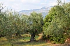 Drzewa oliwne kształtują teren Kalamata, Grecja Obrazy Stock
