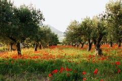 Drzewa oliwne na dywanie poppies-2 Fotografia Stock