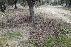 Drzewa oliwne nawożący z nawozem Zdjęcie Royalty Free