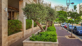 Drzewa oliwne r w kwiatów łóżkach przed kondominium Obrazy Royalty Free