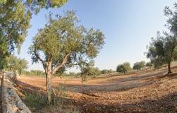 Drzewa oliwne w Apulia wsi, Włochy Obrazy Stock
