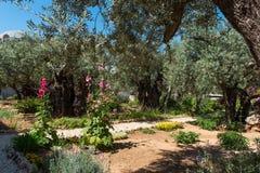 Drzewa oliwne w Gethsemane ogródzie, Jerozolima Zdjęcie Royalty Free