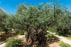 Drzewa oliwne w Gethsemane ogródzie, Jerozolima Obraz Royalty Free