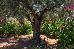 Drzewa oliwne w Gethsemane ogródzie, Jerozolima Obraz Stock
