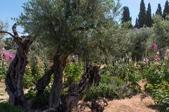 Drzewa oliwne w Gethsemane ogródzie, Jerozolima Zdjęcia Royalty Free