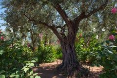 Drzewa oliwne w Gethsemane ogródzie, Jerozolima Fotografia Stock