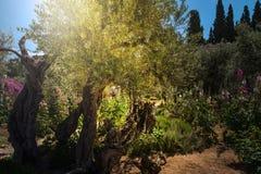 Drzewa oliwne w Gethsemane ogródzie, Jerozolima Obrazy Stock