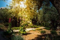 Drzewa oliwne w Gethsemane ogródzie, Jerozolima Zdjęcia Stock