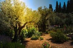 Drzewa oliwne w Gethsemane ogródzie, Jerozolima Obrazy Royalty Free