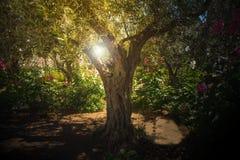 Drzewa oliwne w Gethsemane ogródzie, Jerozolima Fotografia Royalty Free