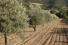 Drzewa oliwne w polu Obraz Stock