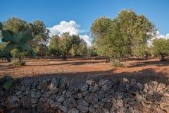 Drzewa oliwne w Salento, Włochy Zdjęcie Stock