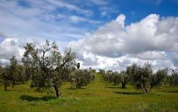 Drzewa oliwne w wiośnie Obrazy Royalty Free