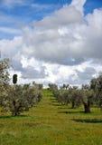 Drzewa oliwne w wiośnie Zdjęcie Royalty Free