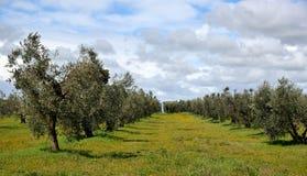 Drzewa oliwne w wiośnie Zdjęcia Stock