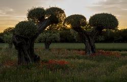 Drzewa oliwne z maczkami Obraz Stock