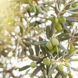Drzewa oliwnego śniadanio-lunch Fotografia Stock