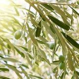 Drzewa oliwnego śniadanio-lunch Fotografia Royalty Free