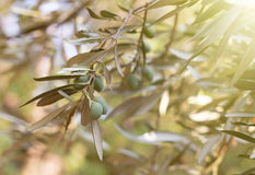 Drzewa oliwnego śniadanio-lunch Obrazy Royalty Free