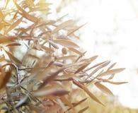 Drzewa oliwnego śniadanio-lunch Zdjęcia Stock