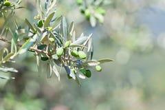 Drzewa oliwnego banch Fotografia Royalty Free