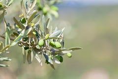 Drzewa oliwnego banch Zdjęcie Royalty Free
