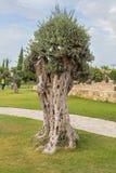 Drzewa oliwnego miasteczka park Kiti Larnaka Cypr Obrazy Stock