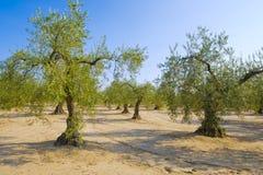 Drzewa oliwnego pole Zdjęcie Royalty Free