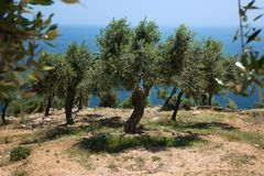 Drzewa oliwnego wzgórze Fotografia Royalty Free