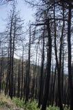 Drzewa palący w ogieniu Fotografia Royalty Free