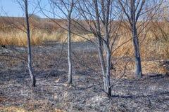 Drzewa po ogienia Zdjęcie Stock