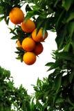 drzewa pomarańczowe zdjęcie royalty free