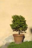 drzewa pomarańczowe fotografia stock