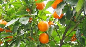 drzewa pomarańczowe Fotografia Royalty Free