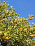 drzewa pomarańczowe Zdjęcia Stock