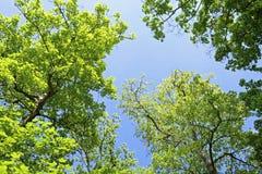 Drzewa przeciw niebieskiemu niebu Obraz Royalty Free