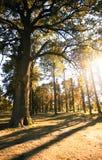 Drzewa przy zmierzchem Obrazy Royalty Free