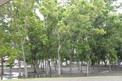 Drzewa r przed Małomiasteczkowym Capitol Davao Del Sura, Matti, Digos miasto, Davao Del Sura, Filipiny obraz stock